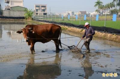 現場採傳統農耕方式,先以牛隻犁田、整地。(記者吳俊鋒攝)