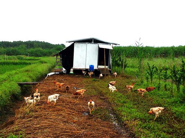 養母雞除草兼生產雞蛋。圖片攝影;廖靜蕙。