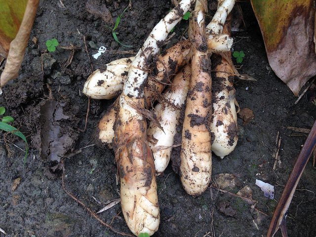 花蓮農改場與原住民部落合作發展傳統作物護食安,抵禦極端氣候!圖為織羅部落的葛鬱金。攝影:廖靜蕙