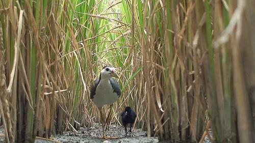 白腹秧雞的出現見證了台灣農業生態價值。(圖片來源:新竹林管處)
