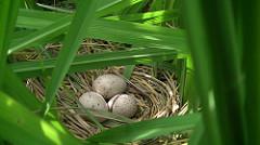 白腹秧雞雞蛋。(圖片來源:新竹林管處)