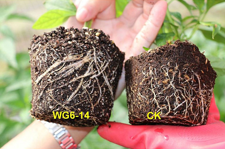 曾德賜研究團隊研發的枯草桿菌(左),對青椒種苗有促進生長的功效(圖片提供/曾德賜)